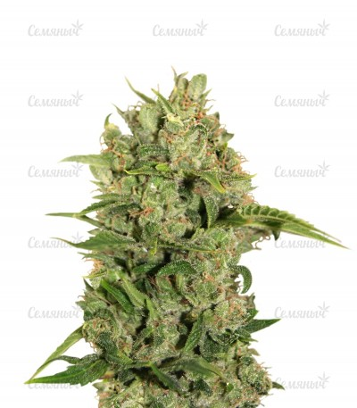 Семена сорта Triple Cheese fem (Barney's Farm)