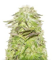 Семена сорта White Widow fem (Pyramid Seeds)