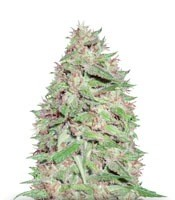 Семена сорта Dizzy Lights Auto fem (Dr. Krippling Seeds)