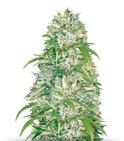 Семена сорта Auto Big Angel fem (Victory Seeds)