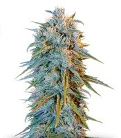 Семена сорта Blue Dream fem (Humboldt Seeds)